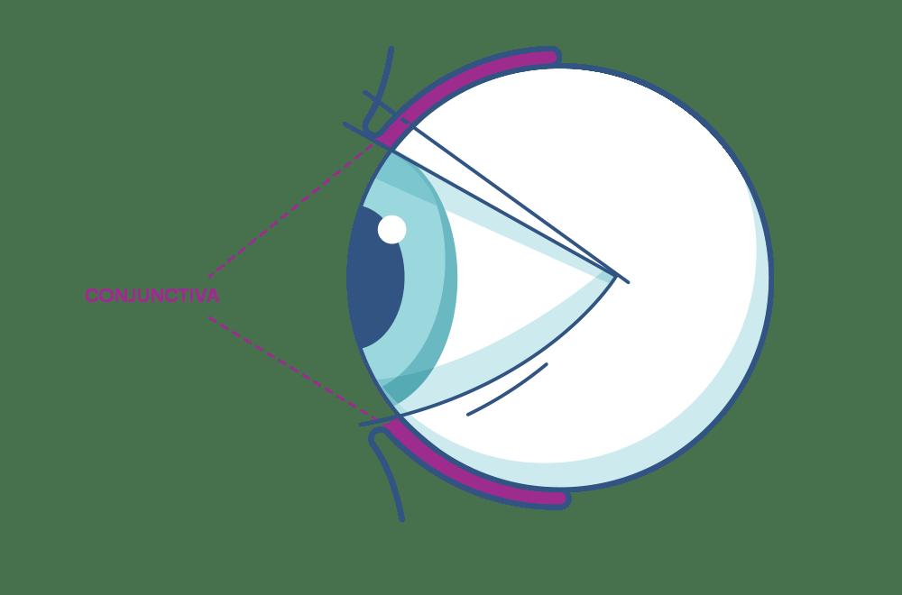 Ilustración que muestra la conjuntiva del ojo   .